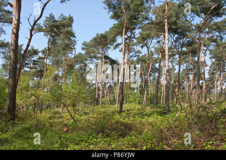 Grove Dennenbos in Teuge; Pineforest in Teuge - Stockfoto