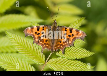 Komma Schmetterling, Polygonia c-Album, UK - Stockfoto
