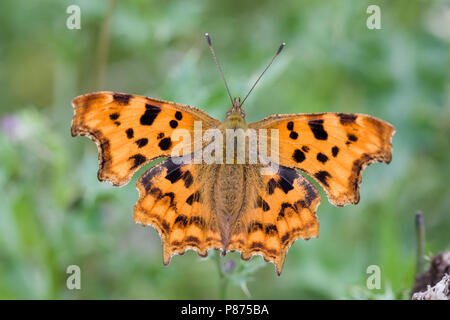 Komma Schmetterling, Polygonia c-Album, UK - Stockfoto