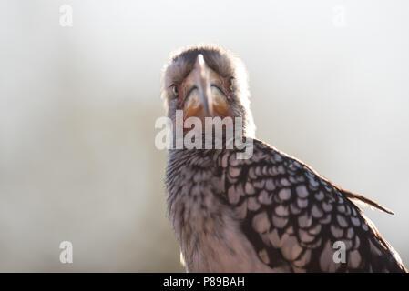 Yellow billed hornbill Nahaufnahme Portrait von lustigen Kruger Vogel - Stockfoto