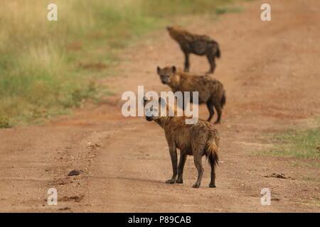 Hyäne Pack von drei auf dem dirst Straße von Kenia Masai Mara - Stockfoto