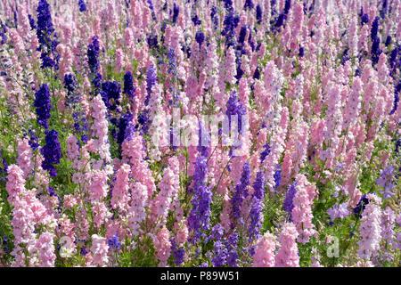 Stilleben auf einem Feld angebaut an der realen Blume Blütenblatt Konfetti Firma Blumenfelder in Wick, Ummerstadt, Thüringen. Großbritannien - Stockfoto
