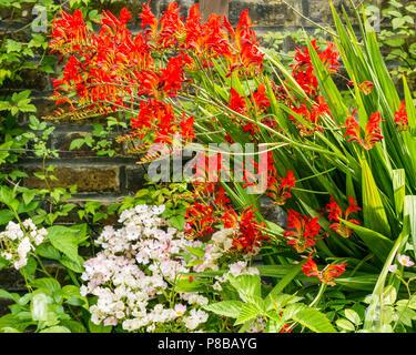 Blumen in voller Blüte in London Sommer Garten mit Flamme rot Crocosmia Lucifer, Monbretia durch Mauer,, England, Großbritannien - Stockfoto
