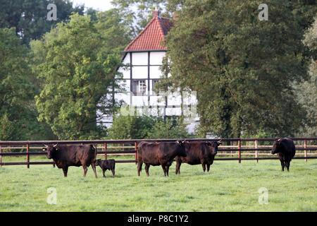 Gestüt Itlingen, Rinder auf einer Koppel - Stockfoto