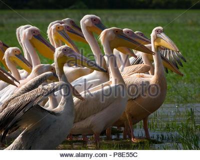 Große weiße Pelikane (Pelecanus onocrotalus), Gruppe im flachen Wasser, Zeway See, Äthiopien - Stockfoto