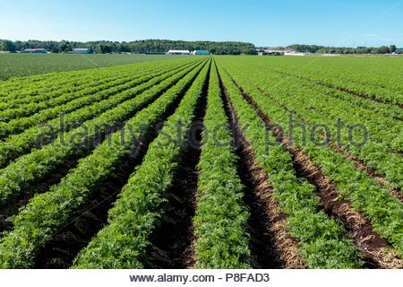 Karotte Anbau in einem Feld in einem Polder Marsh Farm in der Nähe von Bradford Ontario Kanada Holland Marsh - Stockfoto