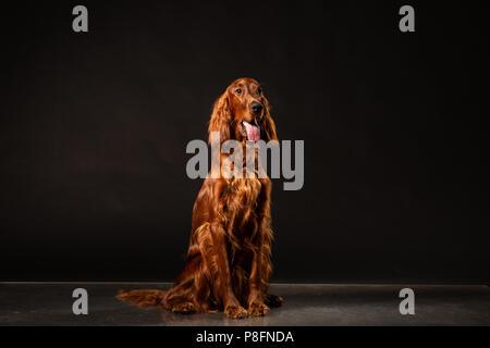 Portrait von Red Irish Setter keuchend auf schwarzem Hintergrund. studio Shot - Stockfoto