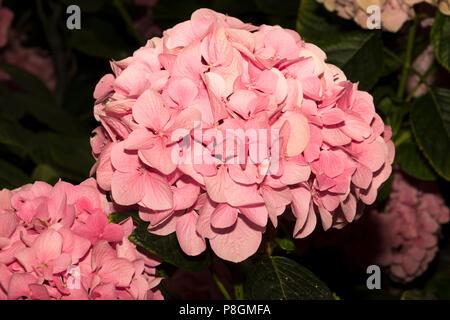 Unten-Hortensie (Hydrangea Macrophylla) - Stockfoto