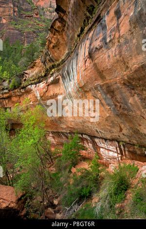 UT 00432-00... UTAH-Trail unter einem Überhang an der unteren, mittleren und oberen Emerald Pools in Zion Canyon, der Zion National Park. - Stockfoto