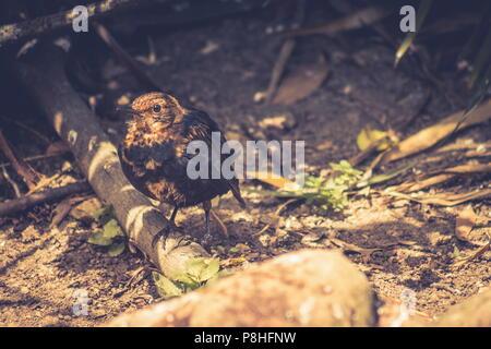 Schließen Sie herauf Bild einer jungen Amsel auf der Erde, in einem Garten mit Platz kopieren - Stockfoto