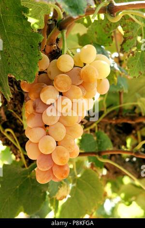Golden Muscat Trauben am Weinstock spät in der Saison. Frühe Stadien der Berry break-down sichtbar. Die Goldenen Muscat hat eine sehr starke unverwechselbare Aroma - Stockfoto