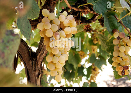 Golden Muscat Trauben am Weinstock spät in der Saison. Frühe Stadien der beery break-down sichtbar. Die Goldenen Muscat hat eine sehr starke unverwechselbare Aroma - Stockfoto