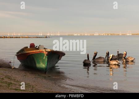 Braune Pelikane am Ufer des La Paz, Mexiko - Stockfoto