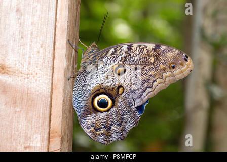 Dusky Riesen Eule Schmetterling (Caligo illioneus) im Magic Wings Butterfly Conservatory und Gärten, Franklin, Franklin County, Massachusetts, USA - Stockfoto