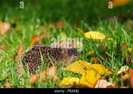 Igel (Erinaceus europaeus) Wandern in bunten Blätter im Herbst, Brandenburg, Deutschland | Verwendung weltweit - Stockfoto