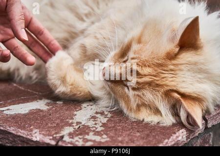 Red flauschige Katze liegen entspannt im Freien auf Red brick wall. - Stockfoto