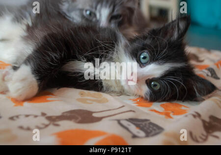 Eine flauschige schwarze und weiße Katze legt auf ein Baby Decke. - Stockfoto