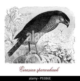 Vintage Gravur von Eurasian sparrowhawk, kleine Raubvogel Fang kleine Vögel und leben in Wäldern. Es hat kurze breiten Flügeln und langen Schwanz. - Stockfoto