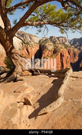 UT 00448-00... UTAH - Baum gehockt auf dem felsigen Gipfelgrat des Angels Landing im Zion National Park. - Stockfoto