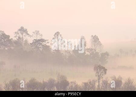 Reihe von Mountain Forest tree Outline in einer Morgennebel. Silhouette von Bäumen Grove in dicken weißen Morgennebel. blasse Farbe Holz durch Feuchtigkeit verdecken. - Stockfoto