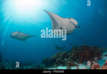 Zwei Mantarochen schwimmen vorbei an einer Koralle Reinigungsstation im Indischen Ozean unter einem Sunburst und ocean Oberfläche - Stockfoto