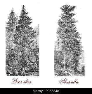 Vintage Gravur von Fichte (Picea abies), der Weihnachtsbaum (Abies alba), und der Europäischen Tanne (Abies alba) aus weissem Holz. - Stockfoto