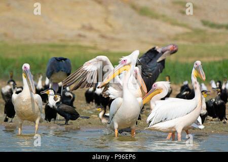 Große Weiße Pelikane, Pelikan, Weiße Breasted Kormoran, Kormorane und Marabou Störche, Vögel Kazinga Kanal, Queen Elizabeth National Park, Uganda - Stockfoto