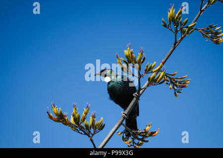Heimat Neuseeland Tui in einem Flachs Bush mit einem klaren blauen Himmel im Hintergrund