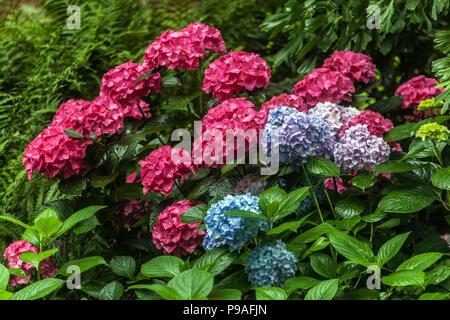 Bigleaf Hydrangea, Hydrangea macrophylla, Hortensia - Stockfoto