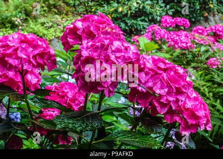 Red Bigleaf Hydrangea, Hydrangea Macrophylla 'Alpengluhen', Hortensia, schöne rote Stauden - Stockfoto