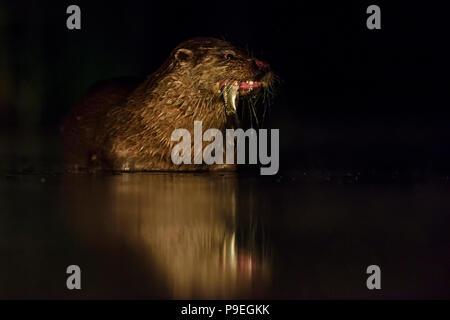 Eurasischen River Otter - Lutra Lutra, freswater nachtaktive Raubtiere aus europäischen Flüssen. - Stockfoto