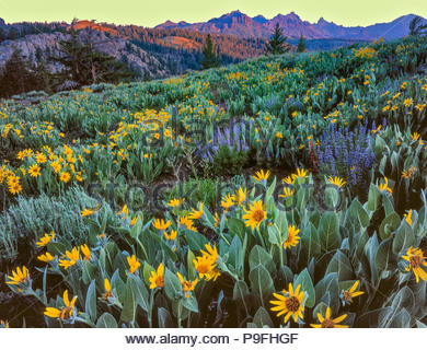 Arrowleaf Balsam Wurzel, Balsamorhiza sagittata, Lupin, Lupinus angustifolius, Carson-Iceberg Wüste, Toiyabe National Forest, Sierra Nevada, CA - Stockfoto