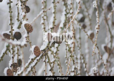 schnee bedeckt tannenzapfen und tannennadeln stockfoto bild 41497373 alamy. Black Bedroom Furniture Sets. Home Design Ideas
