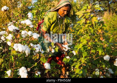 Ein Bauer Ernte organische Baumwolle auf dem Bauernhof der Familie in Sendhwa, Indien. - Stockfoto