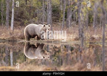 Eurasischer Braunbär in Wald in Finnland mit Reflexion im See - Stockfoto