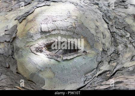 Geheilt Schneiden von einem Zweig der Platane mit einem Ausschnitt in Form eines Auges. - Stockfoto
