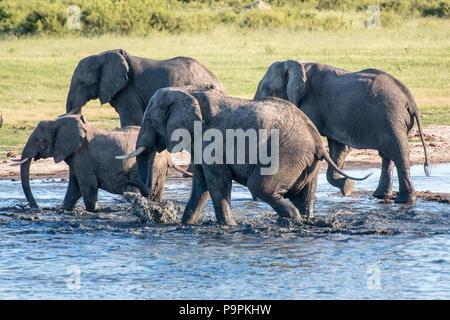 Eine Familie von Elefanten Stapfen durch das Wasser von Hwange National Park. Hwange, Simbabwe. - Stockfoto