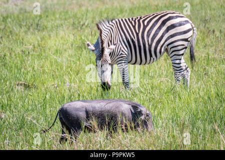 Ein zebra Schürfwunden auf dem Grasland von der Savanne neben einem Warzenschwein in Hwange National Park. Hwange, Simbabwe. - Stockfoto