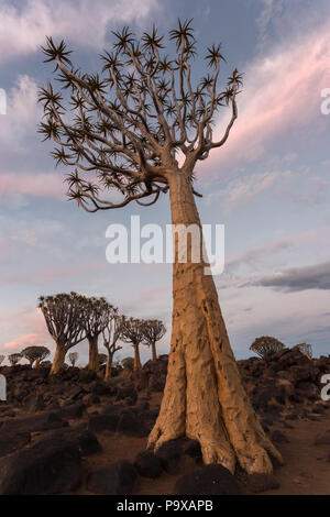 Köcherbäume in der Dämmerung (köcherbaum) (Aloidendron dichotomum, früher Aloe dichotoma), Köcherbaumwald, Keetmanshoop, Namibia - Stockfoto