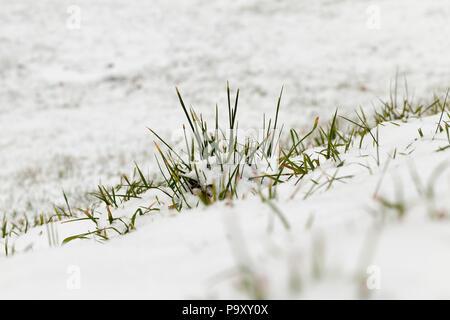 Trockenes und grünes Gras auf einem weißen Hintergrund von Schnee, Nahaufnahme im Feld - Stockfoto