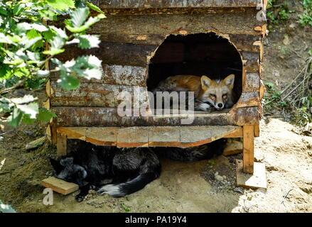 Wladiwostok, Russland. 20. Juli 2018. Wladiwostok, Russland - Juli 20, 2018: Füchse in einem Gehäuse an der Sadgorod Zoo. Juri Smityuk/TASS Credit: ITAR-TASS News Agentur/Alamy leben Nachrichten - Stockfoto