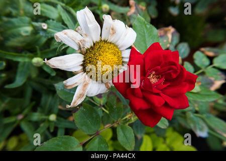 Natur Kontraste Hintergrundbild. Red Rose Blume und einem trockenen daisy flower. Keine Menschen. - Stockfoto