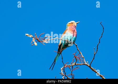 Lilac-Breasted Roller - Stockfoto
