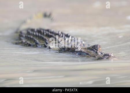Salzwasser-Krokodil, Western Australia, Australia