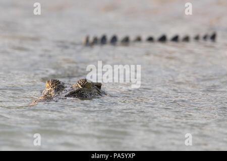 Salzwasser-Krokodil, Western Australia, Australia - Stockfoto