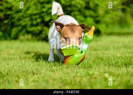 Dog Training Spiel mit Spielzeug Ente im Hinterhof Rasen zu holen - Stockfoto