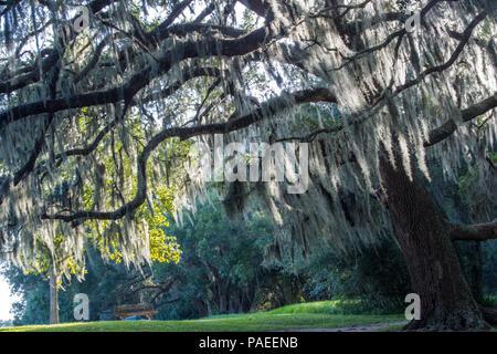 Eine uralte eiche baum tief in einem buche wald am - Baum auf spanisch ...