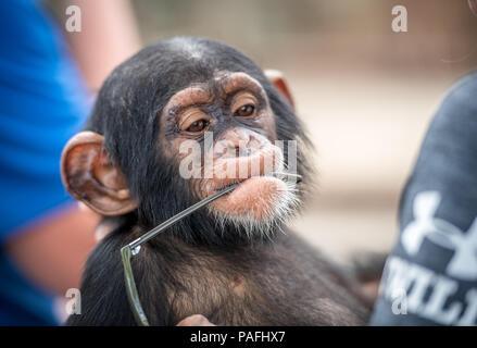 Eine dumme baby Schimpanse (Pan troglodytes) setzt die Brille, die er in seinem Mund gestohlen hat, Ganta Liberia - Stockfoto