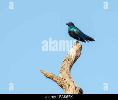Kap-glänzend Starling - Stockfoto