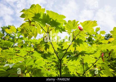 Acer japonicum Vitifolium zeigen charakteristische Laub im Sommer und Saatgut Flügel zu dispers auf dem Waldboden in Grossbritannien - Stockfoto